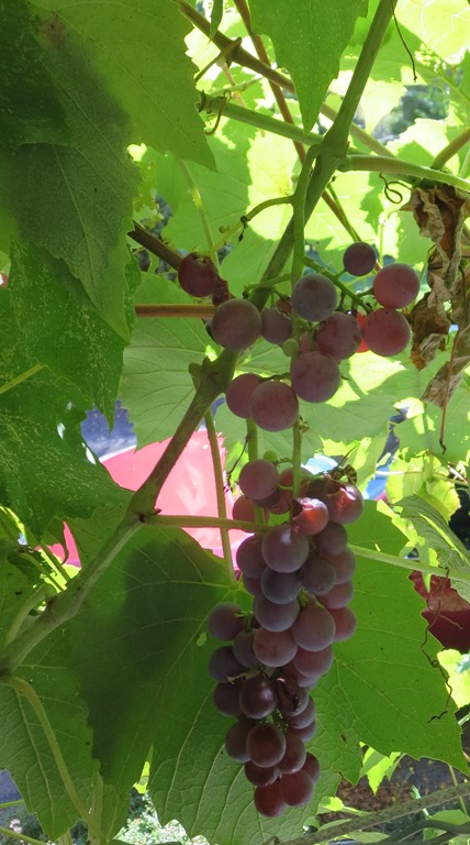 Susan's Grapes